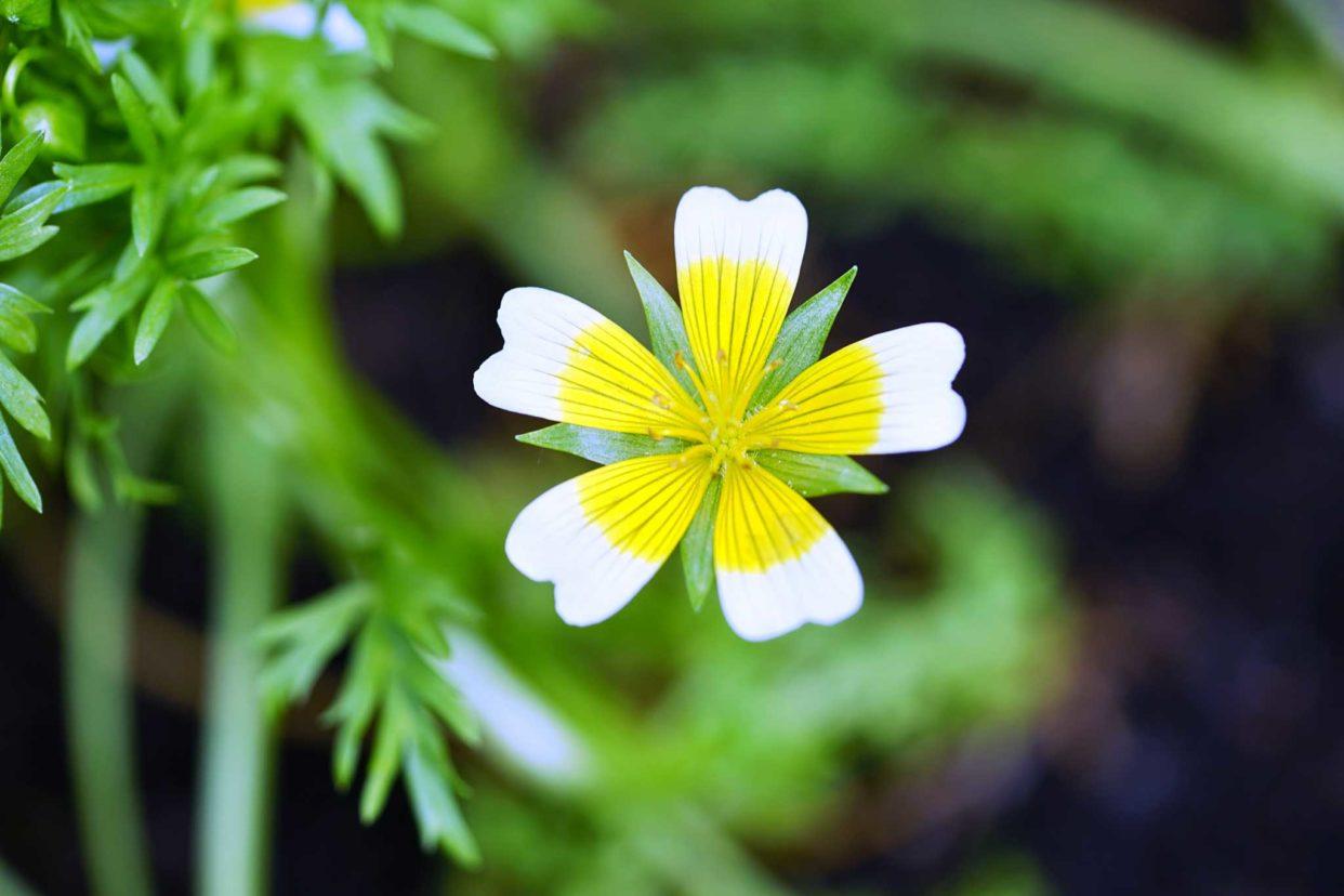 メドウフォームの花